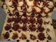 Туркестанский (туркменский) таракан (Shelfordella tartara)