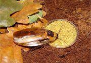 Крупные виды декоративных и кормовых тараканов